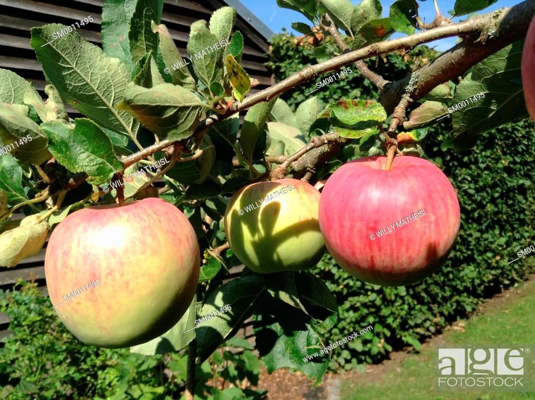 Stock Photo: Branch of apple tree laden with apples in a small garden orchard, Bavaria, Germany, Europe.