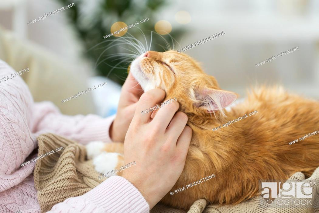 Stock Photo: close up of owner stroking red cat in bed at home.