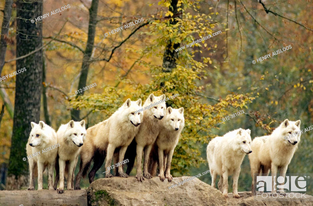 Stock Photo: Arctic or Canadian wolf in autumn. Loup arctique ou du Canada. Canis lupus.