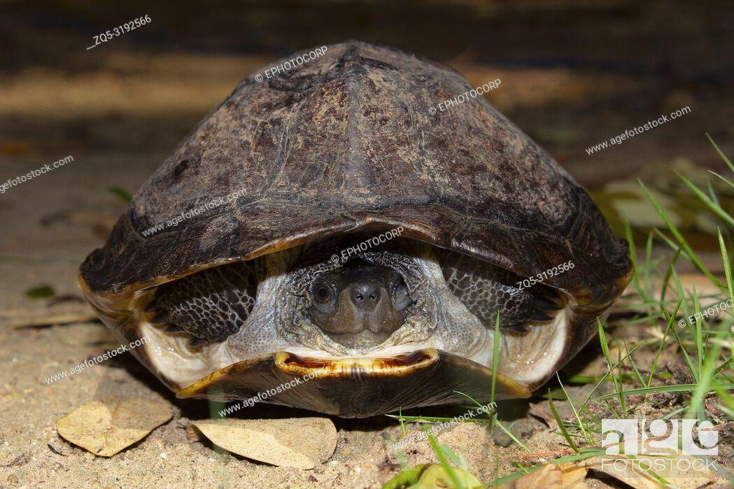 Imagen: Indian black turtle, Melanochelys trijuga, Hampi, Karnataka, India. Medium-sized freshwater turtle found in South Asia.