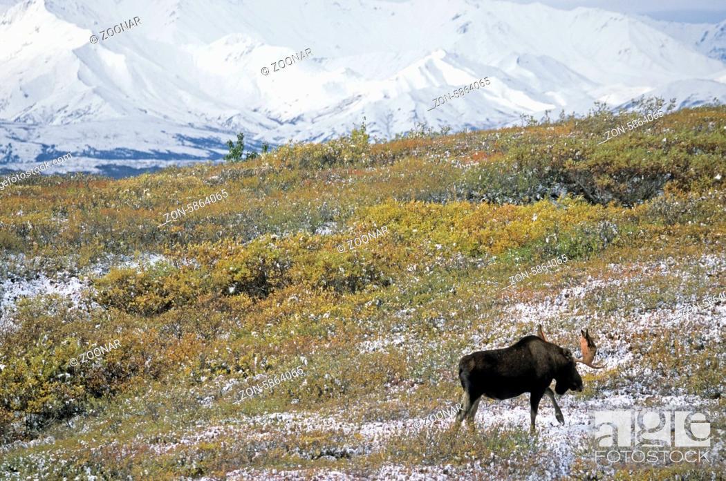 Stock Photo: Elchbulle wandert in der verschneiten Tundra vor der Alaskabergkette - (Alaskaelch) / Bull Moose in front of the Alaska-Range hiking in the snowy tundra -.