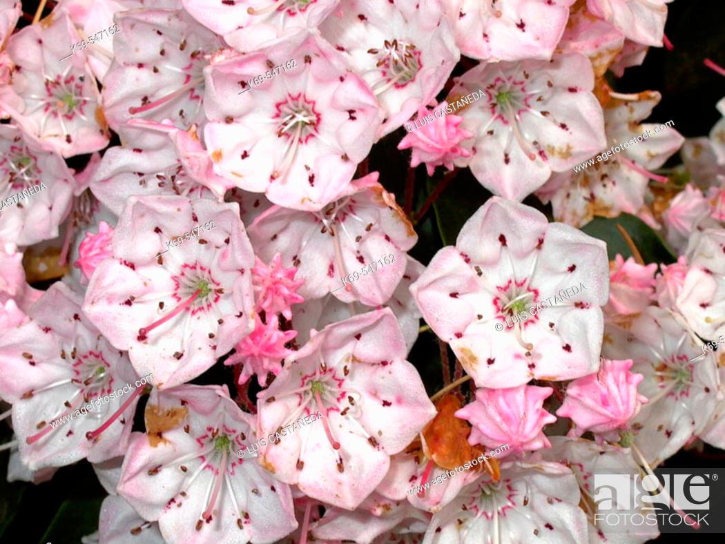 Stock Photo: Mountain laurel flowers (Kalmia latifolia).