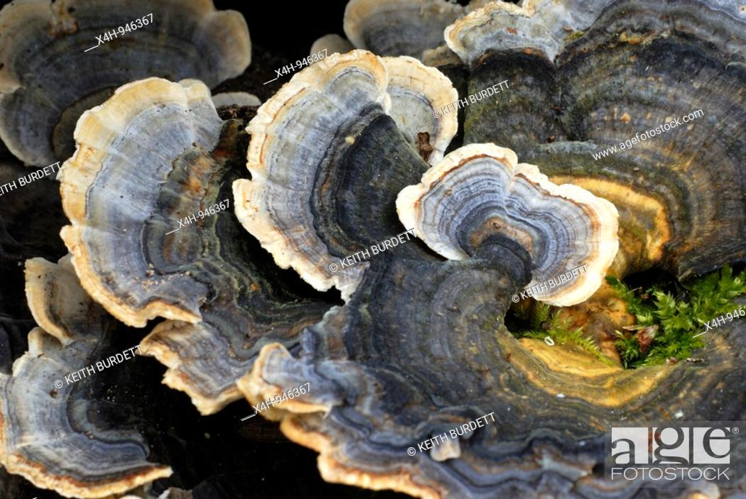 Stock Photo: Many Zoned Polypore, Coriolus versicolor, Wales.