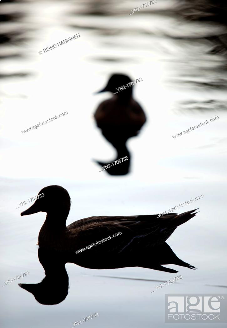 Stock Photo: Silhouette of an Eurasian Wigeon  Anas Penelope former Mareca penelope   Location Oulu Finland Scandinavia Europe.