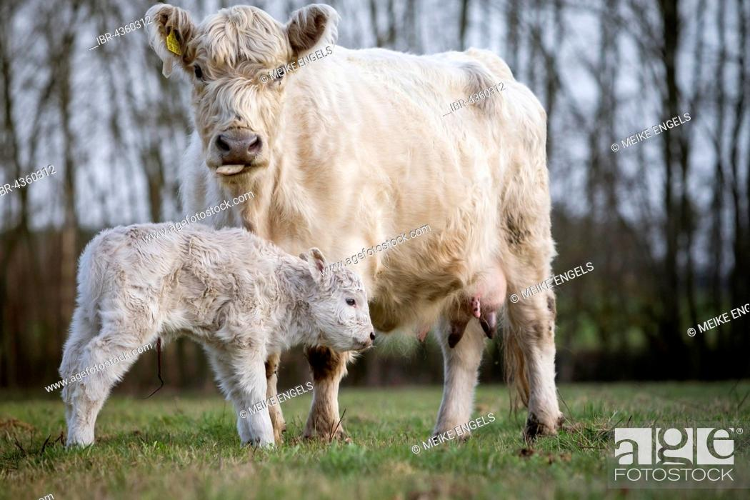 Stock Photo: Galloway cattle (Bos primigenius taurus) with blond pigmentation, appropriate animal welfare, free range, suckler with newborn calf.