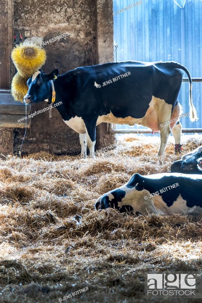 Some Of The Last Cows In A Stable Of The Production