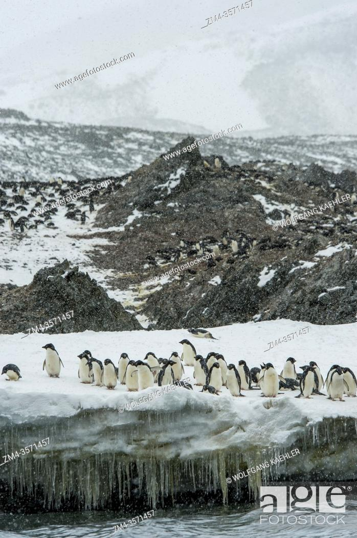 Stock Photo: Adelie penguins (Pygoscelis adeliae) waiting in falling snow on a snowbank to go to feed at sea at Hope Bay, Antarctic Peninsula.