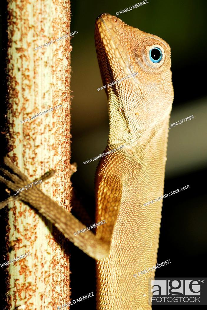 Imagen: Dusky Earless Agama (Aphaniotis fusca) on branch in Taman Negara national park, Pahang, Malaysia.