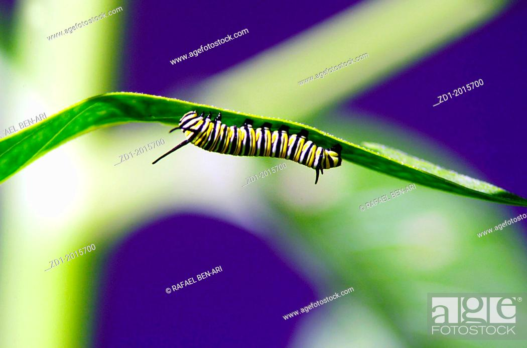 Stock Photo: Monarch Butterfly caterpillar on a green leaf.