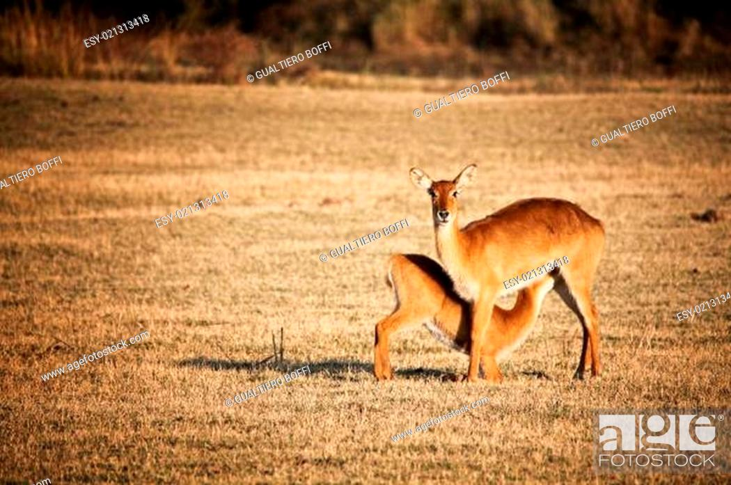 Imagen: mother and baby impala.