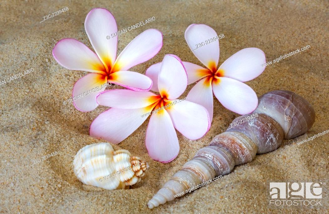 Stock Photo - Hawaiian Tropical Plumeria (common name Frangipani) is a genus of flowering plants in the dogbane family, Apocynaceae .