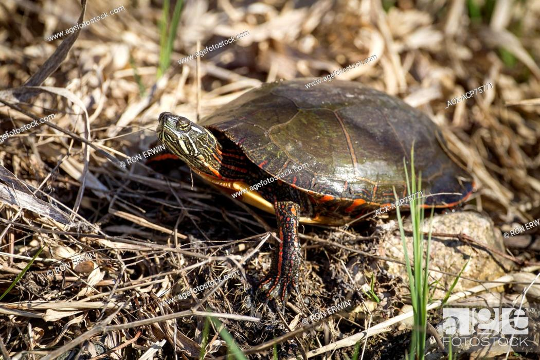Stock Photo: Midland Painted Turtle (Chrysemys picta marginata), Municipality of Gordon/Barrie Island on Manitoulin Island, Ontario, Canada.