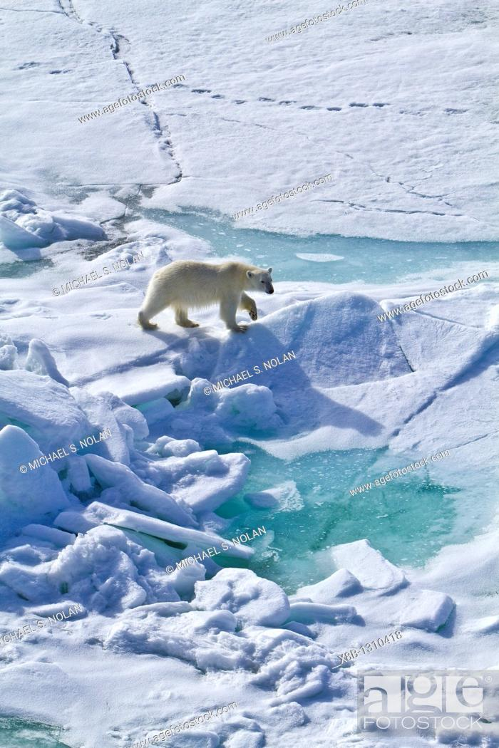 Stock Photo: A curious young polar bear Ursus maritimus approaches the National Geographic Explorer along the northwestern coast of Spitsbergen in the Svalbard Archipelago.