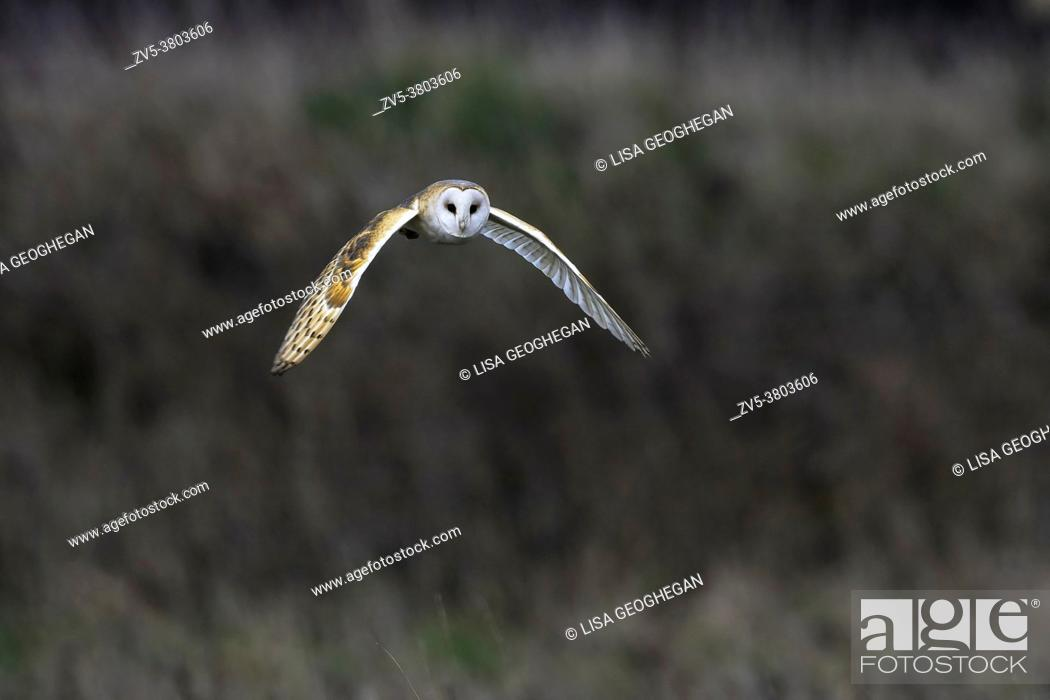 Stock Photo: Barn Owl-Tyto alba.