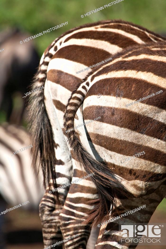 Stock Photo: Close up of the backside of two Burchell's zebras (Equus burchelli), Tanzania, Africa.