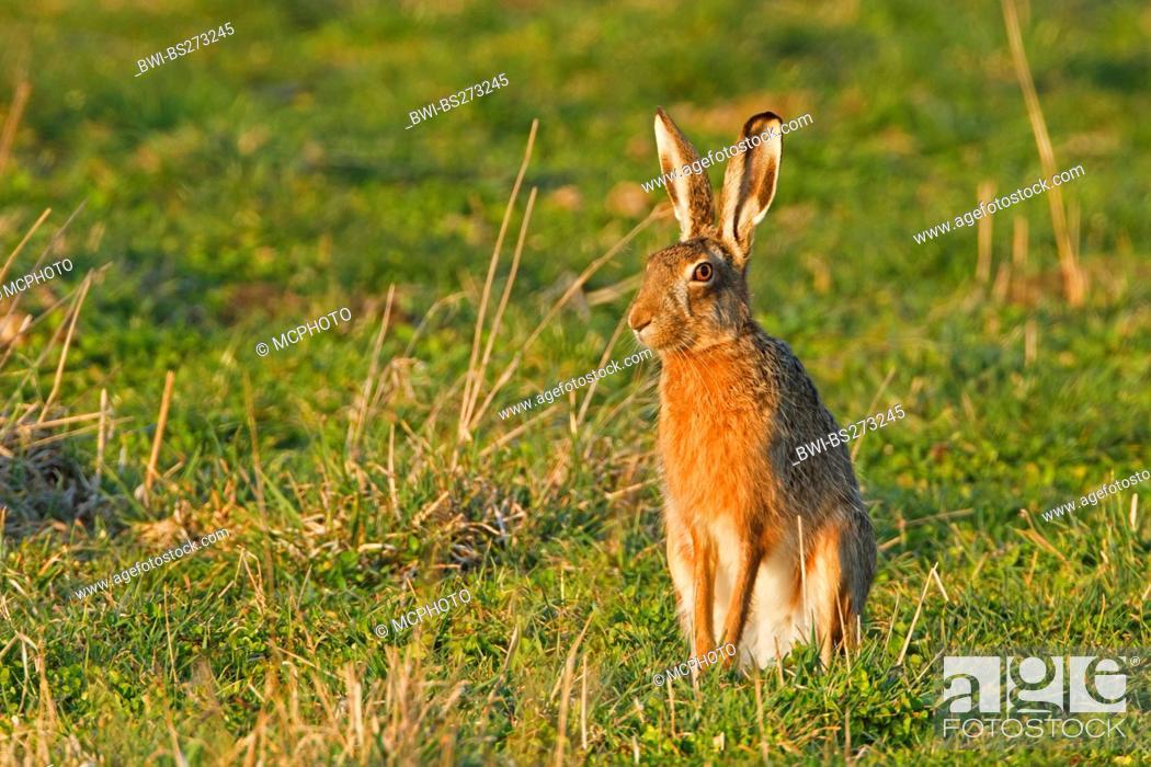Stock Photo: European hare Lepus europaeus, sitting in a meadow, Germany, Rhineland-Palatinate.