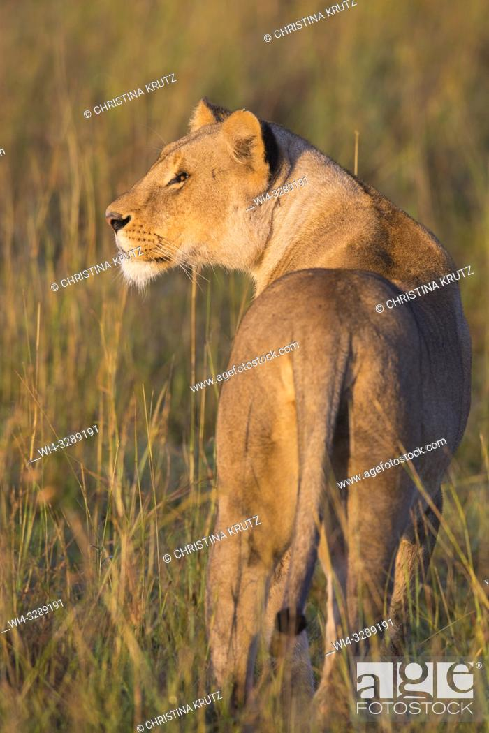 Stock Photo: African Lion (Panthera leo) standing in tall grass, Maasai Mara National Reserve, Kenya, Africa.