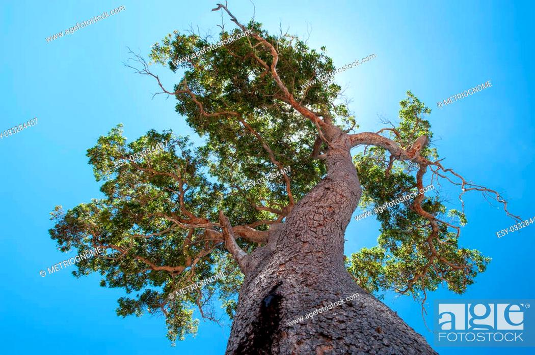 Imagen: Imposing old redgum (marri) tree looking up trunk to high backlit canopy against clear blue sky.