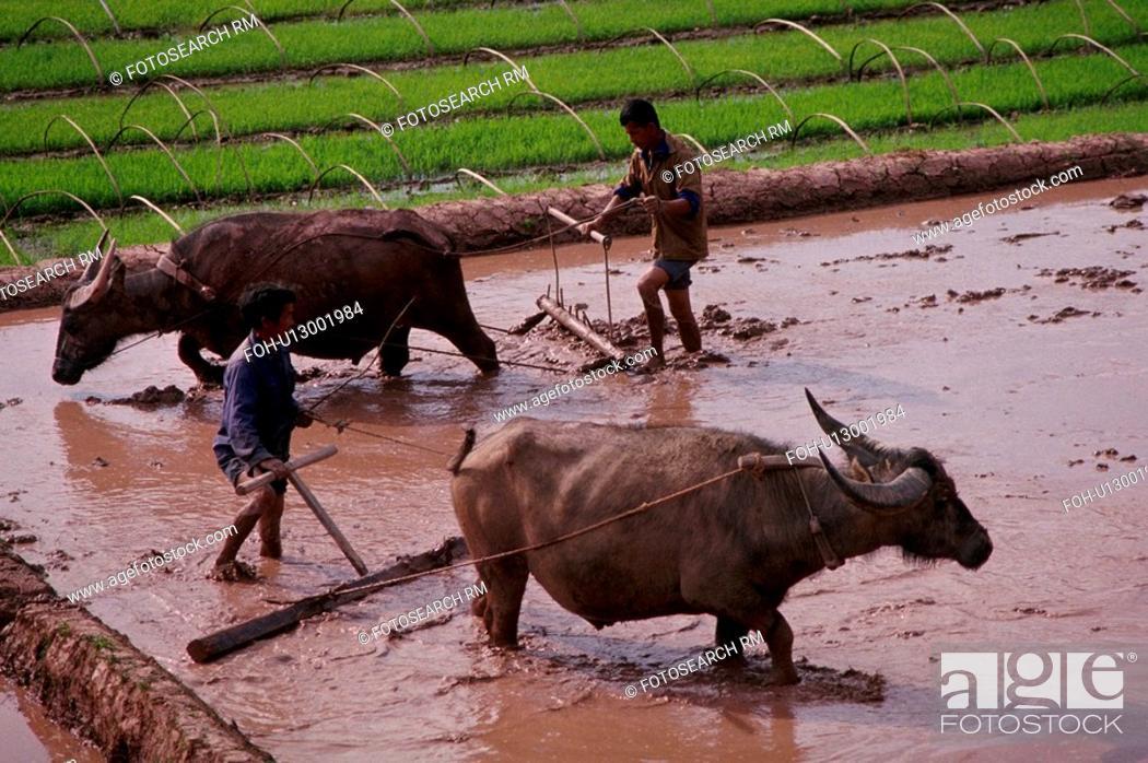 Stock Photo: asia, paddies, china, southern, xishuangbanna, rice.