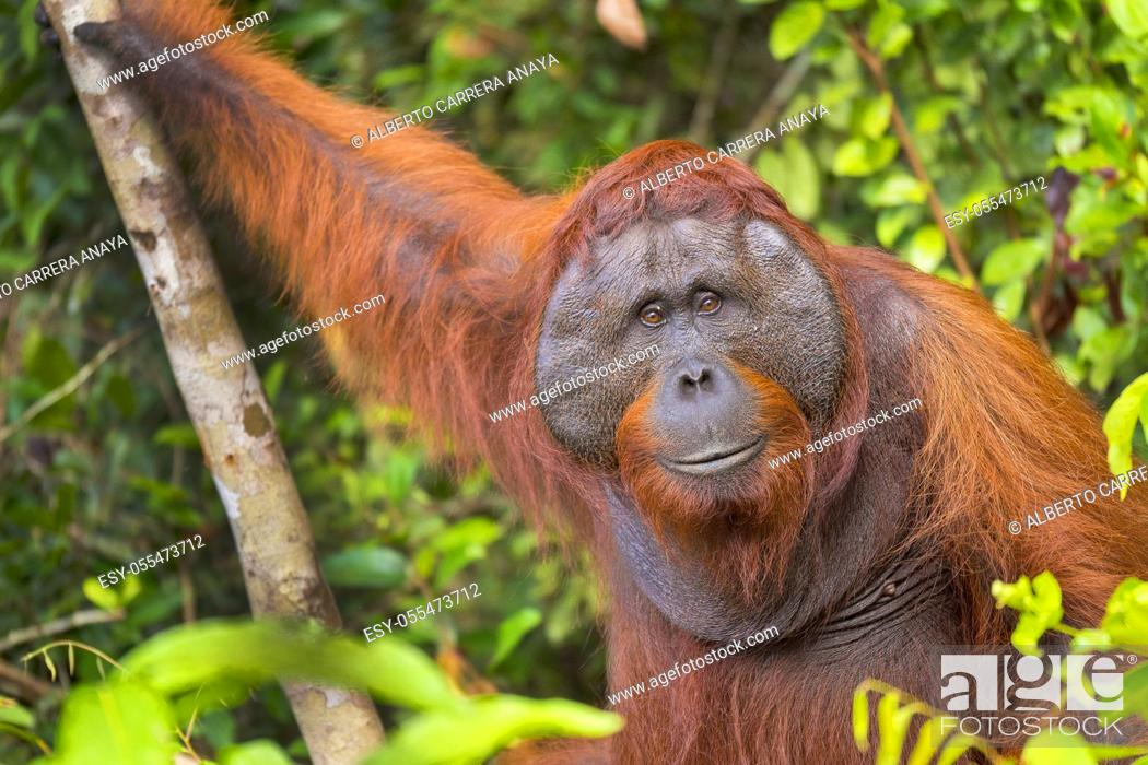 Stock Photo: Orangutan, Pongo pygmaeus, Sekonyer River, Tanjung Puting National Park, Kalimantan, Borneo, Indonesia.