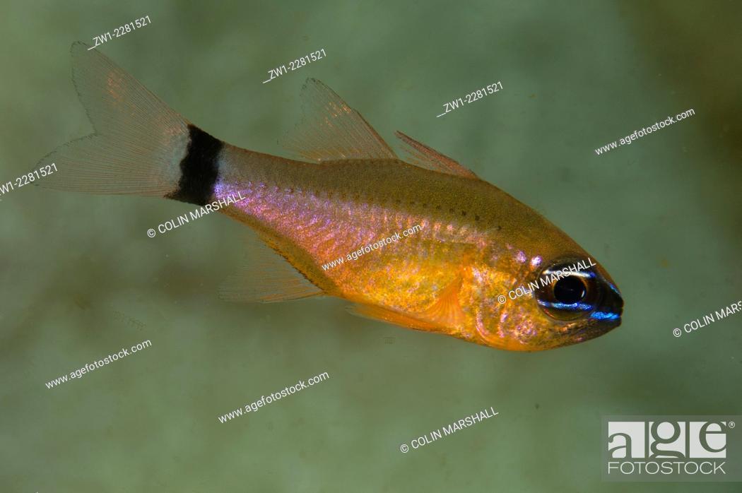 Stock Photo: Ringtailed Cardinalfish (Ostorhinchus aureus), Rusak Gigi dive site, Padar Island, Komodo National Park, Indonesia.