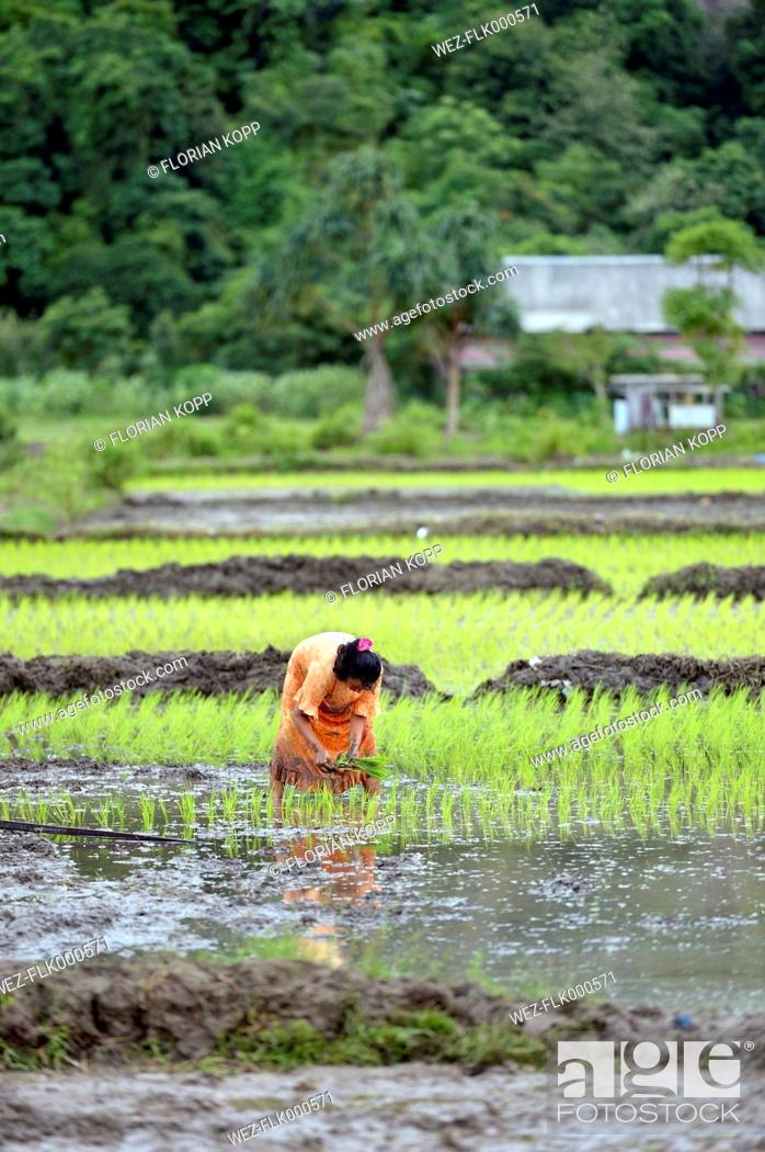 Indonesia, Aceh, Lam Teungo, female farmer planting seedling on