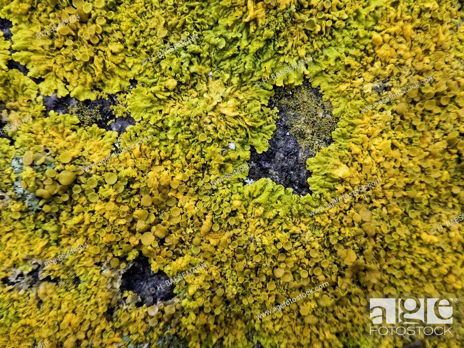Imagen: Common orange lichen, Yellow scale, Maritime sunburst lichen, Shore lichen, Golden shield lichen (Xanthoria parietina, Parmelia parietina), lichen on a rock.