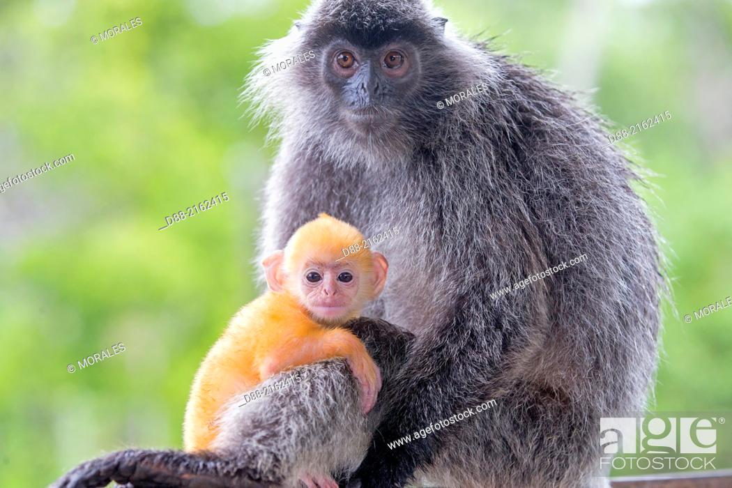 Photo de stock: Asia, Borneo, Malaysia, Sabah, Labuk Bay, Silvery lutung or silvered leaf monkey or the silvery langur (Trachypithecus cristatus).