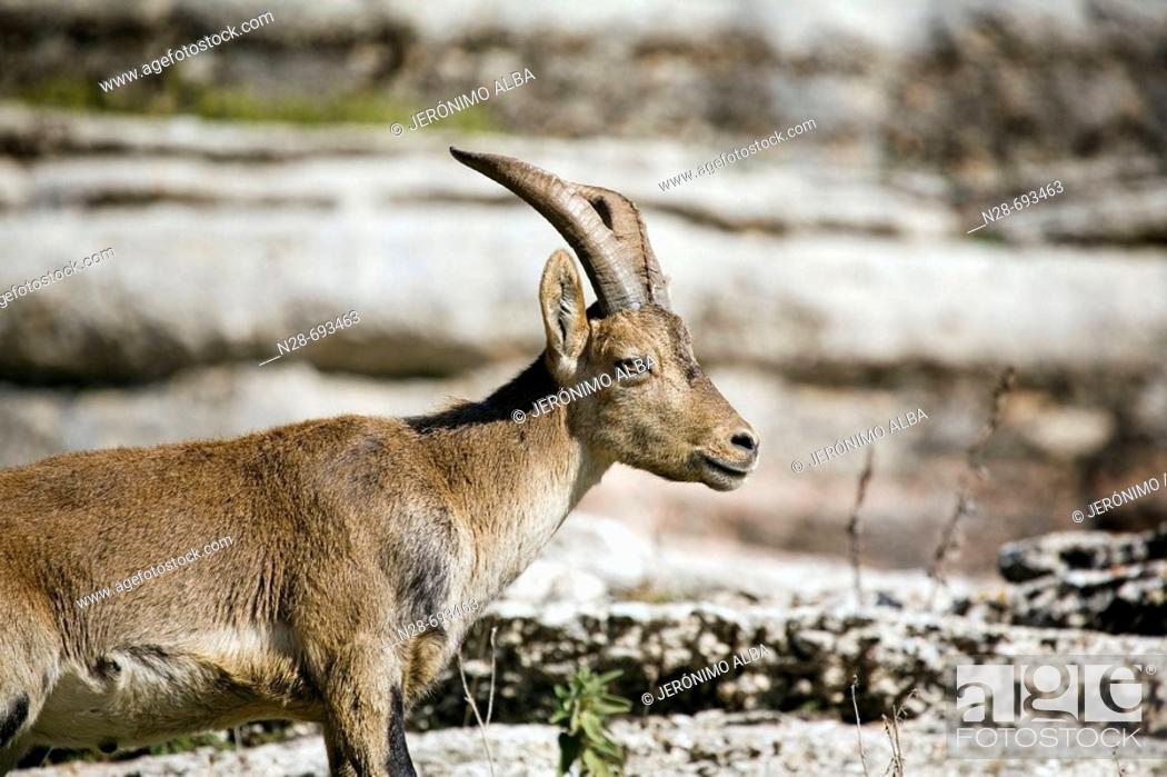 Stock Photo: Spanish Ibex (Capra pyrenaica). Torcal de Antequera Natural Park. Málaga province. Spain.