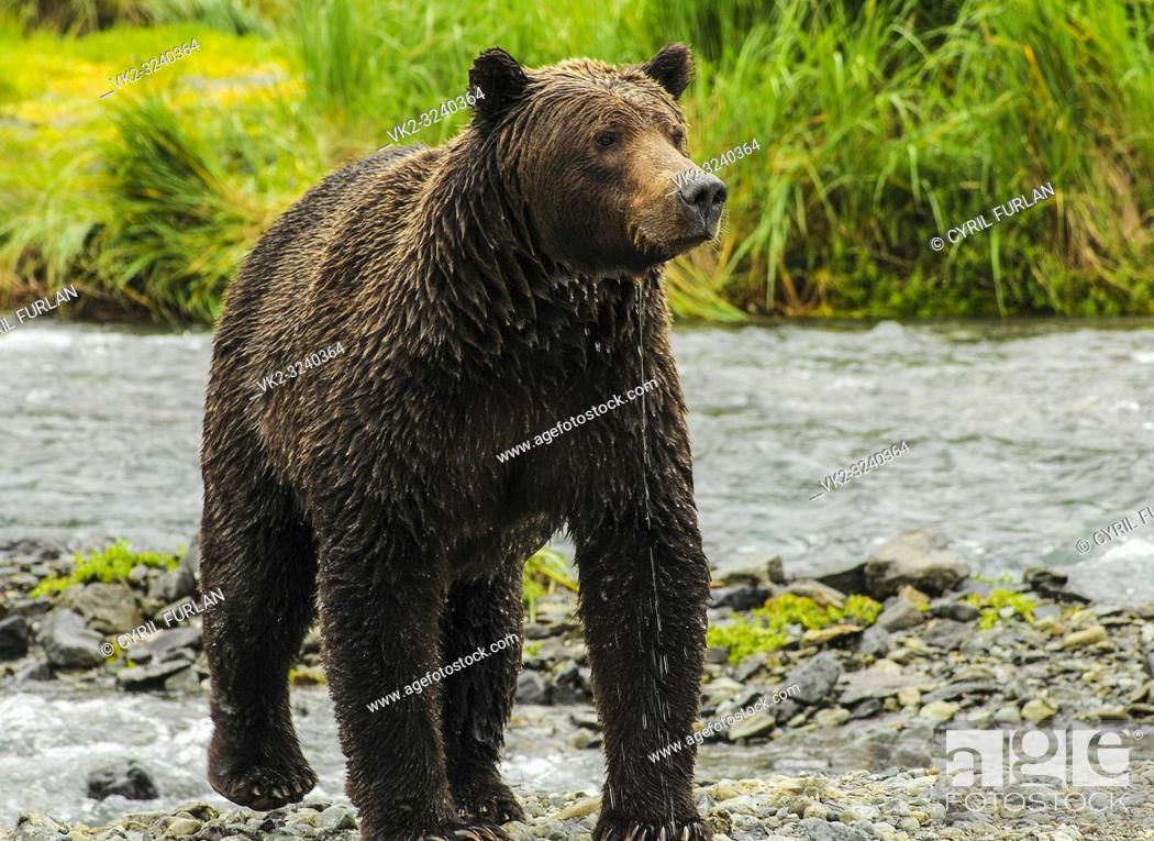Stock Photo: Female Grizzly just emerged from stream, Katmai National Park Alaska.