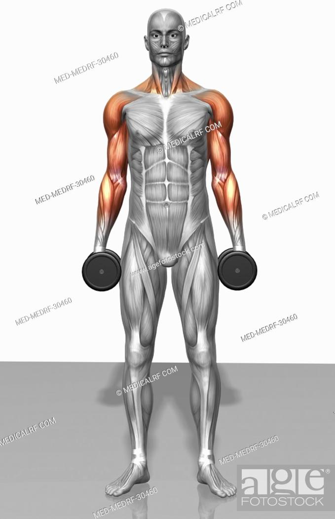 Stock Photo: Dumbbell shrug exercise Part 2 of 2.