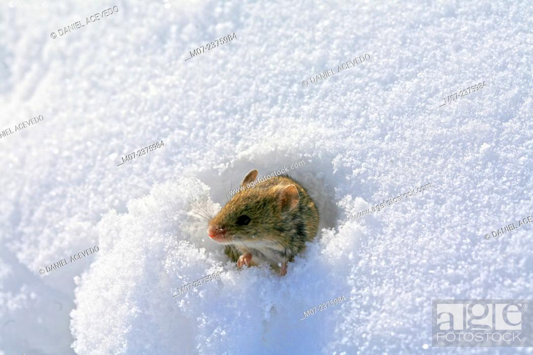 Imagen: Mouse making his way out of snow.
