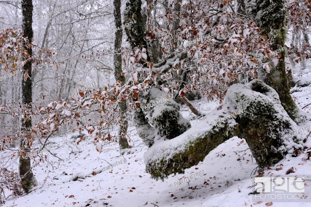 Imagen: La Pedrosa beech wood snowy in la Quesera mountain pass, Riaza, Segovia, Spain.