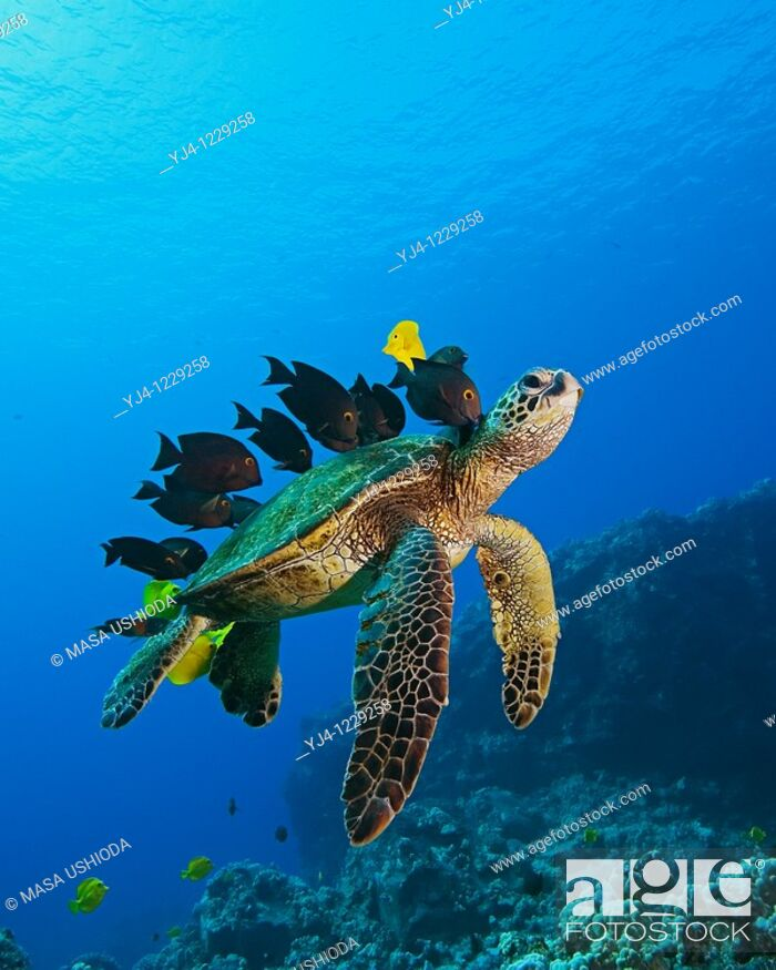 Stock Photo: endangered species, green sea turtle, Chelonia mydas, being cleaned by yellow tang, Zebrasoma flavescens, gold-ring surgeonfish, Ctenochaetus strigosus.