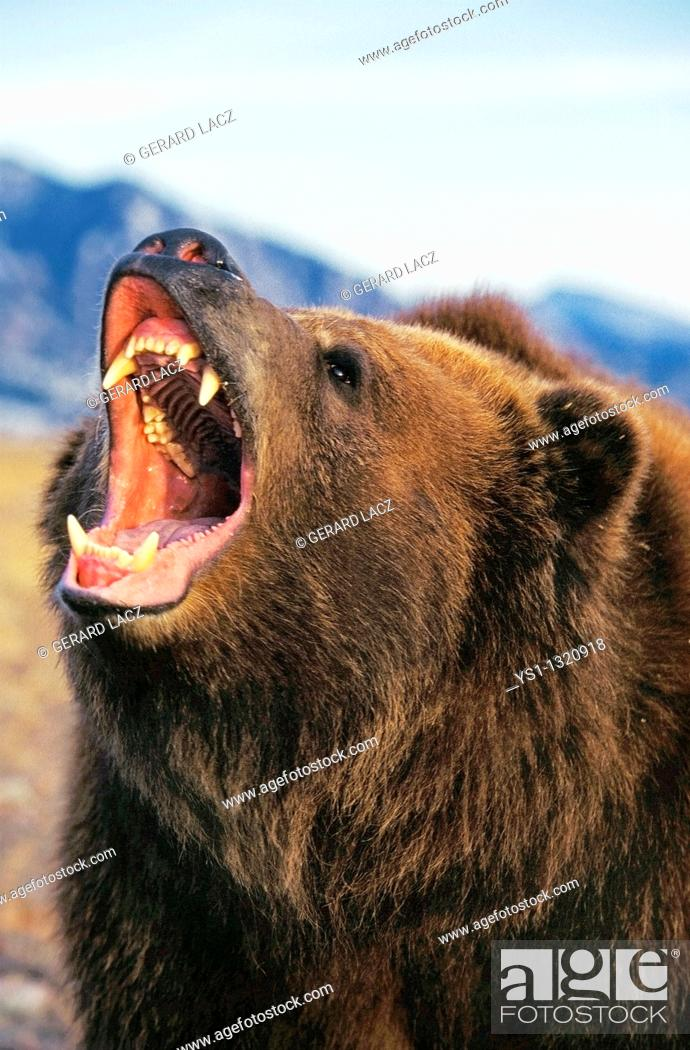 Stock Photo: KODIAK BEAR ursus arctos middendorffi, ADULT THREATENING WITH OPEN MOUTH, ALASKA.