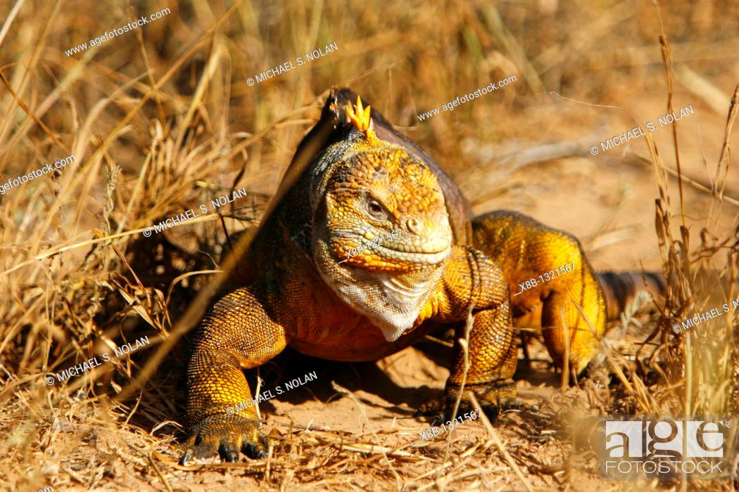 Stock Photo: The very colorful Galapagos land iguana Conolophus subcristatus in the Galapagos Island Archipelago, Ecuador  This large land iguana is endemic to the Galapagos.