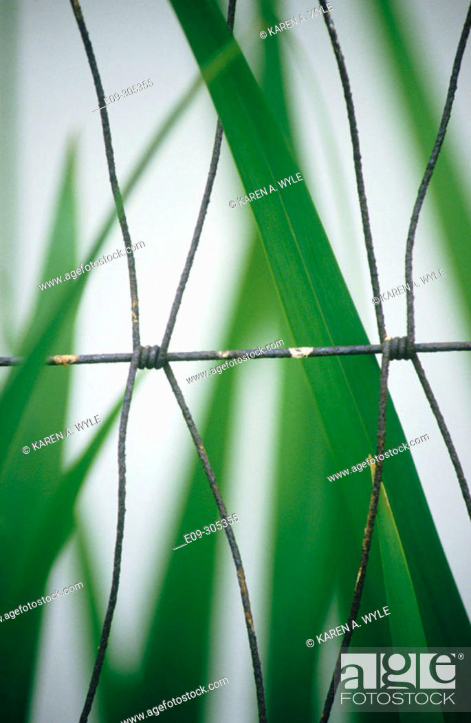 Imagen: Tall grass and wire fence, white background.