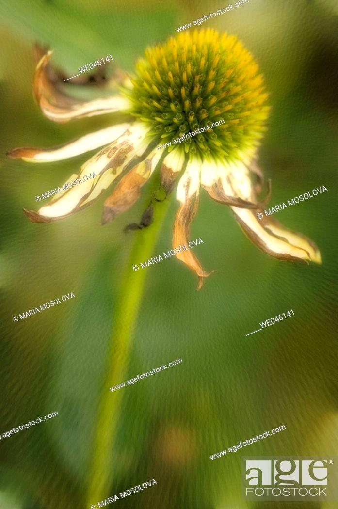 Stock Photo: Echinacea hybrid. Medicinal plant. April 2005, Maryland, USA.