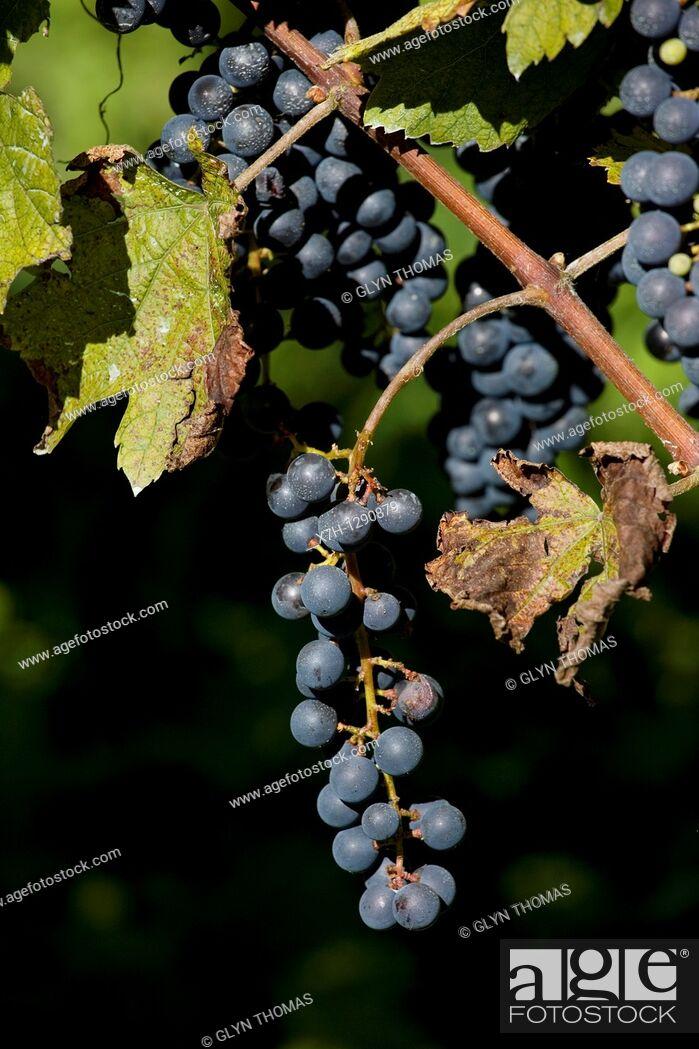 Stock Photo: Vineyard, Camedo, Ticino, Switzerland.