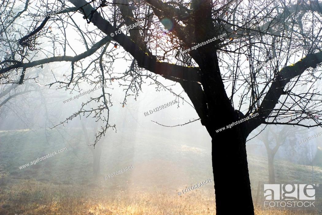 Stock Photo: glow, austria, fruit-tree, calf, burgenland, apple tree.