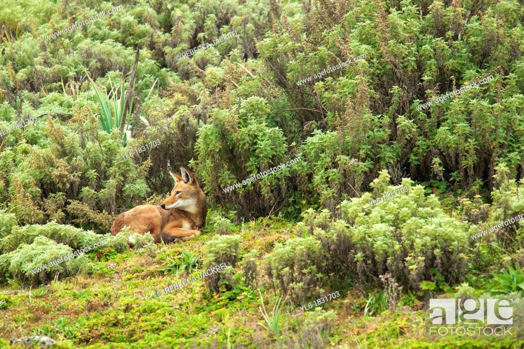 Stock Photo: An Ethiopian wolf takes snactuary from the element amid the afroalpine shrubs.