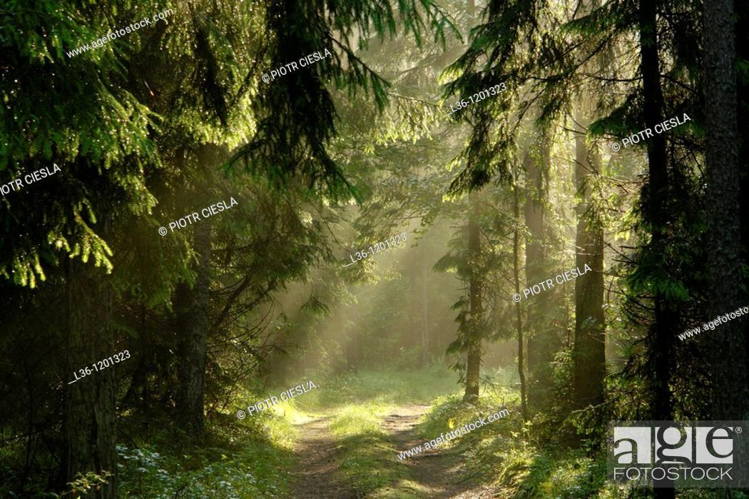Stock Photo: Knyszynska Forest liies in the Podlasie region, eastern Poland.