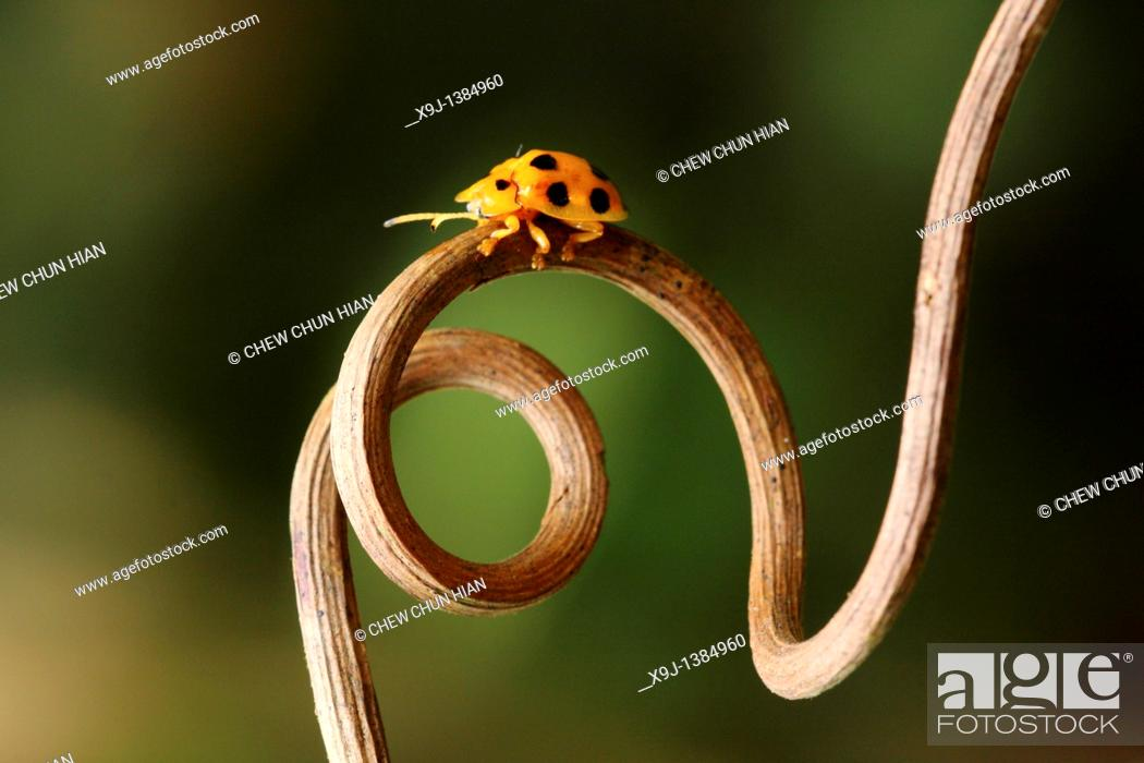 Stock Photo: yellow color of ladybird.