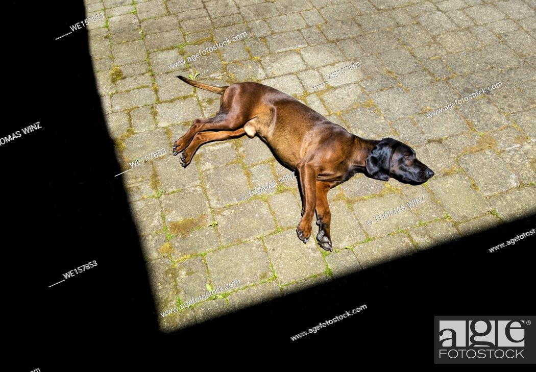 Stock Photo: Bavarian Mountain hound relaxing on a terrasse , Germany.