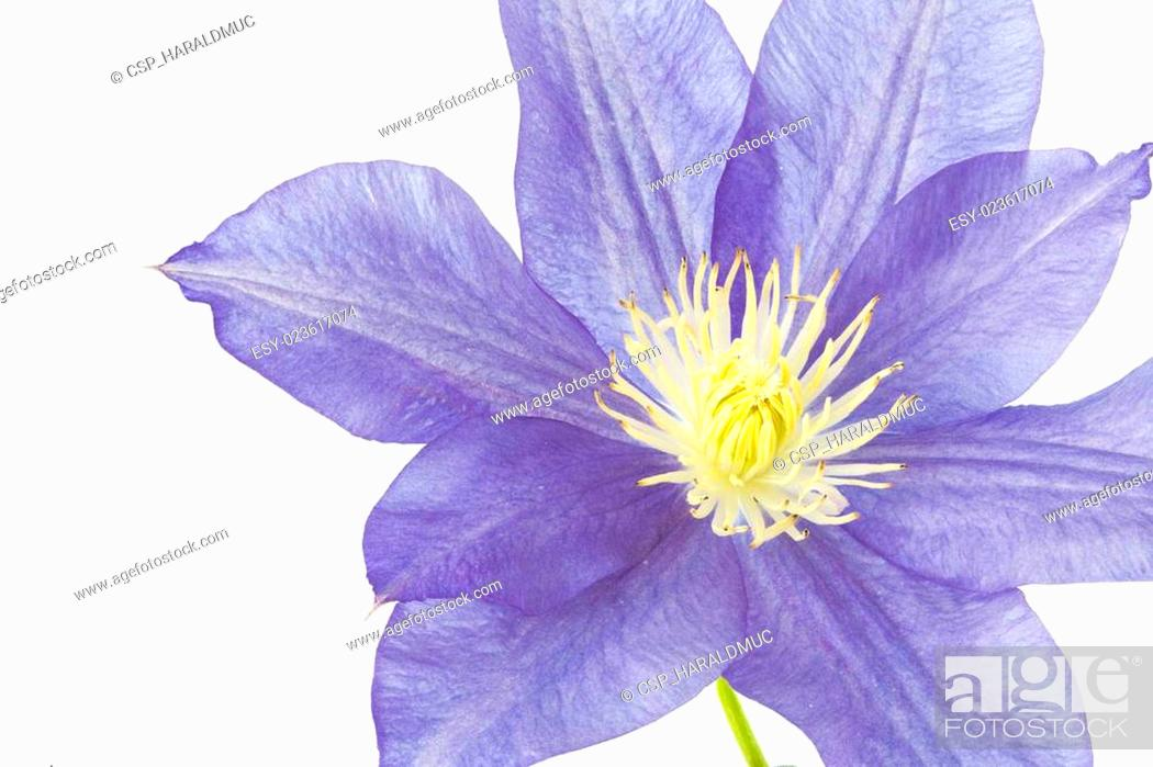 Stock Photo: Blue Clematis flower, isolated on white.