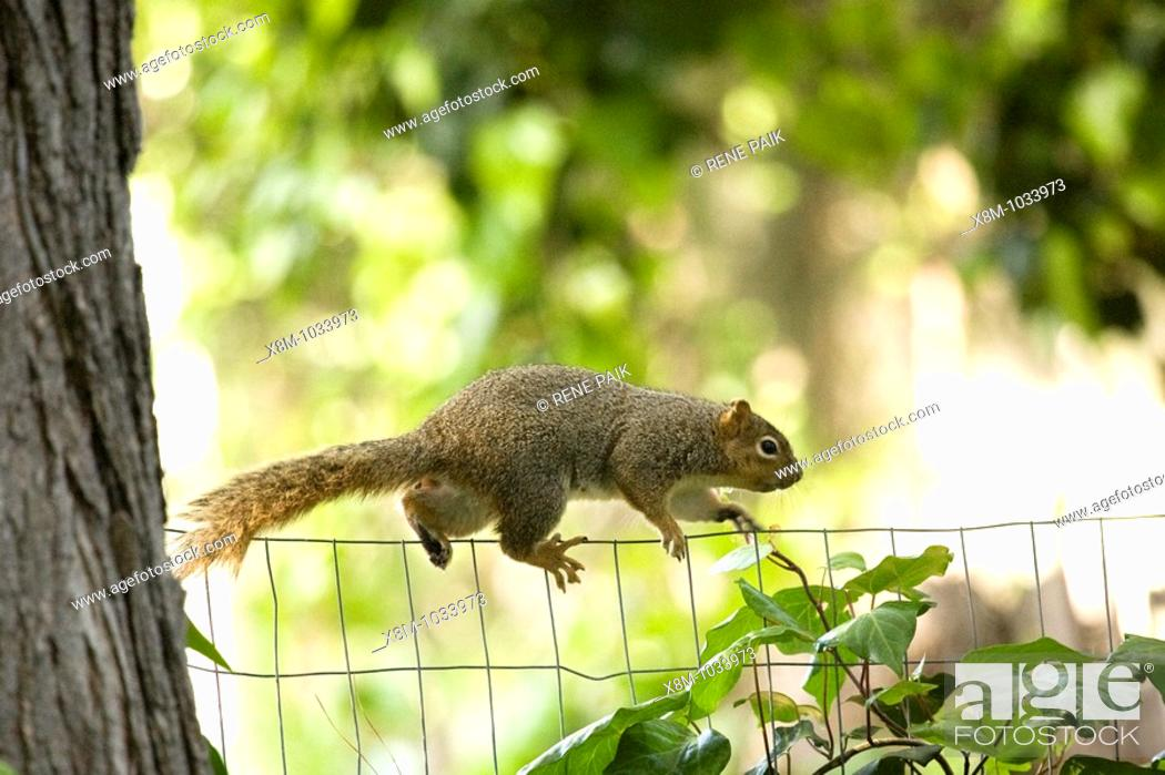 Stock Photo: Female fox tree squirrel (Sciurus niger, fam. Sciuridae) easily navigates the precariously thin line of a chicken wire fence.