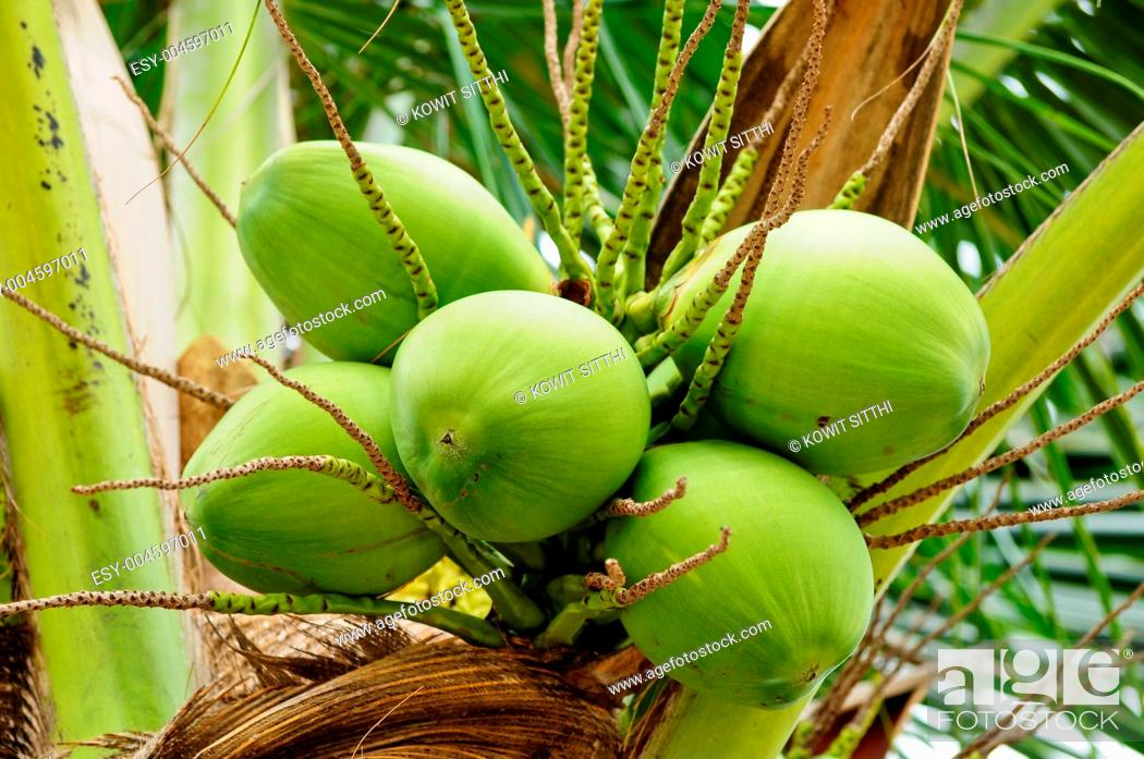 Stock Photo: Green cocnut at tree.