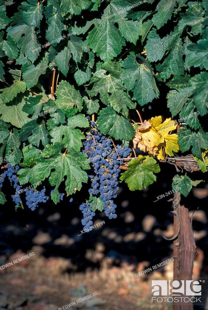 Stock Photo: CALIFORNIA - Sonoma vinyards.