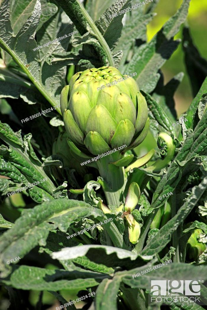 Stock Photo: Globe Artichoke Cynara scolymus crop, close-up of flowerbud, Castroville, California, U S A.