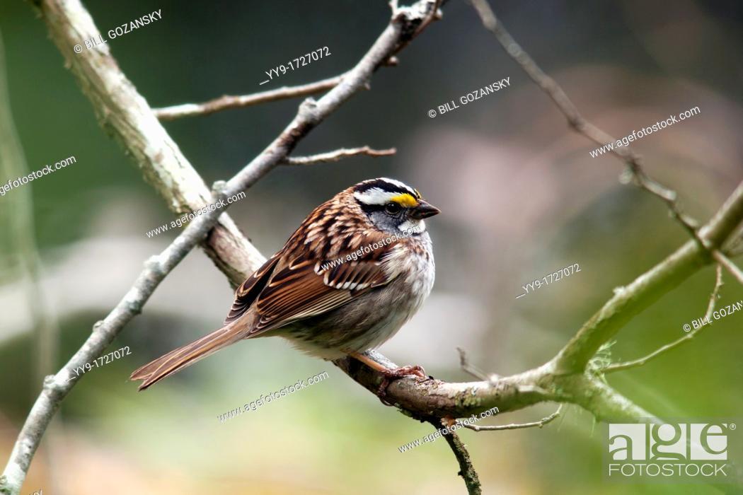 Stock Photo: White-throated Sparrow - Smuggler's Cove Provincial Park - Halfmoon Bay - Sunshine Coast, British Columbia, Canada.